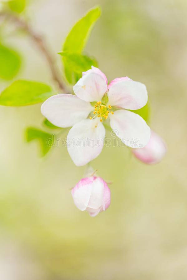 One apple tree blossom flower on branch at spring. Beautiful blooming flower isolated with blurred background stock images