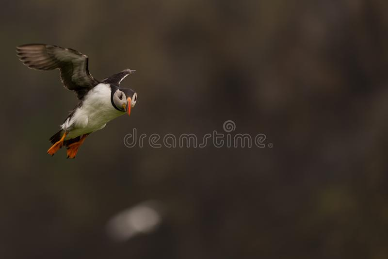 A puffin in flight royalty free stock photos