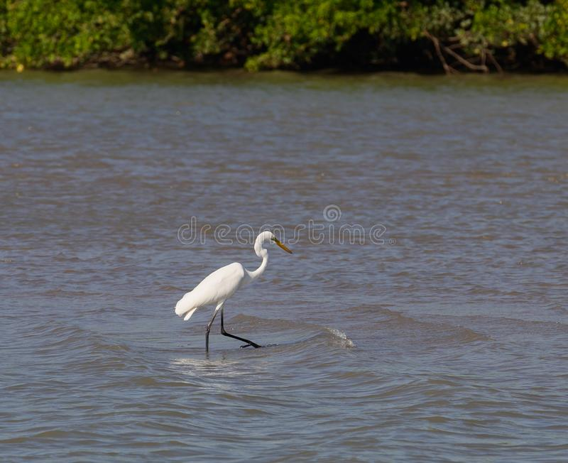 Eastern Great Egret. One of Australia's most elegant birds, the snowy-white Eastern Great Egret is often seen wading in a range of wetlands, from lakes stock images