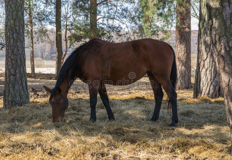 One bay horse is grazing on the edge of the forest stock photos