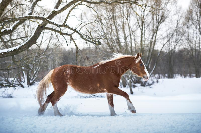 Bay horse running gallop in winter forest royalty free stock image
