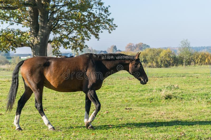 One bay horse walking on green grass. Side view stock images