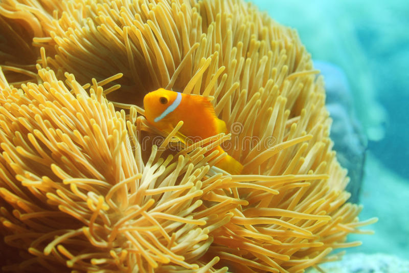One beautiful clownfish. Swimming in anemones stock photo