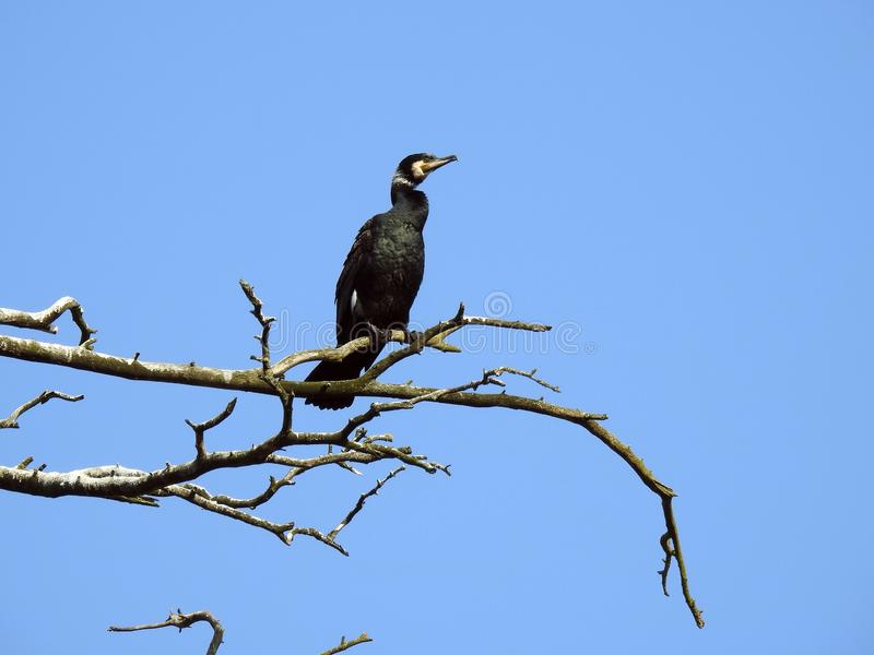 Cormorant bird on old tree branch, Lithuania royalty free stock photography