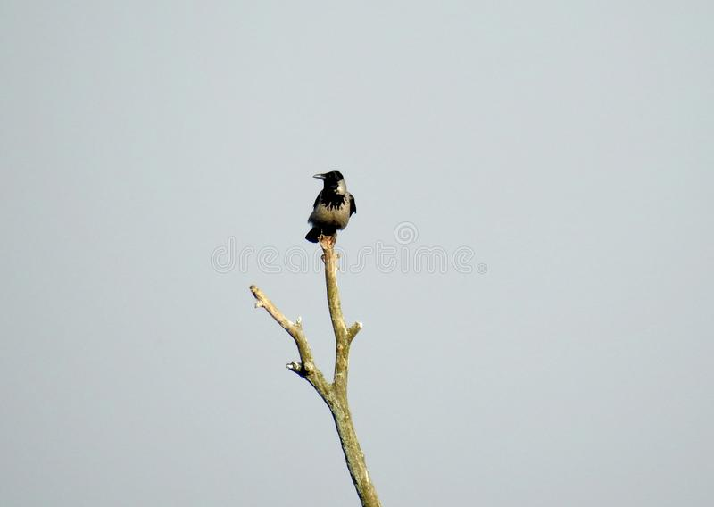 Crow bird on tree top in spring, Lithuania royalty free stock photography