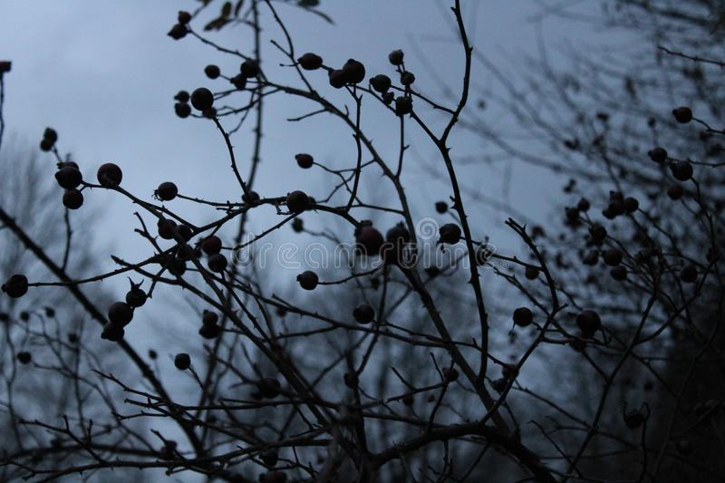 Rosa canina in the evening. royalty free stock image