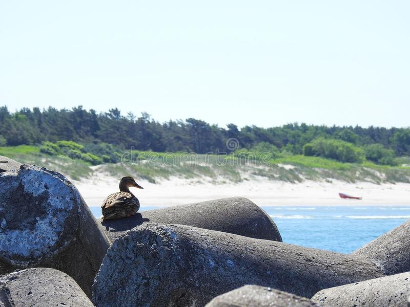 Duck rest on stone near sea, Lithuania. One beautiful duck bird rest on stone near Baltic sea stock photos
