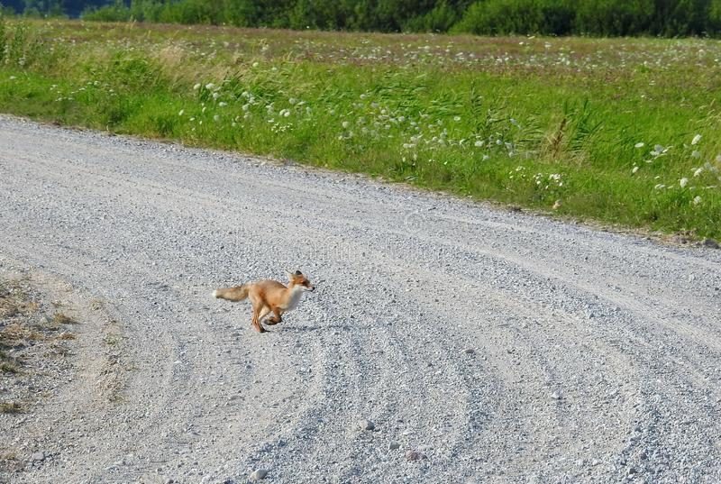 Young fox running by the way Lithuania stock images