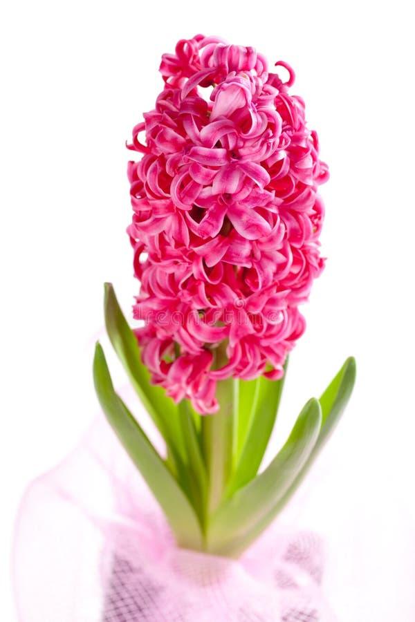 Beautiful hyacinth stock photo