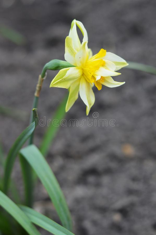 One beautiful narcissus. Photo of  interesting flower. royalty free stock photos