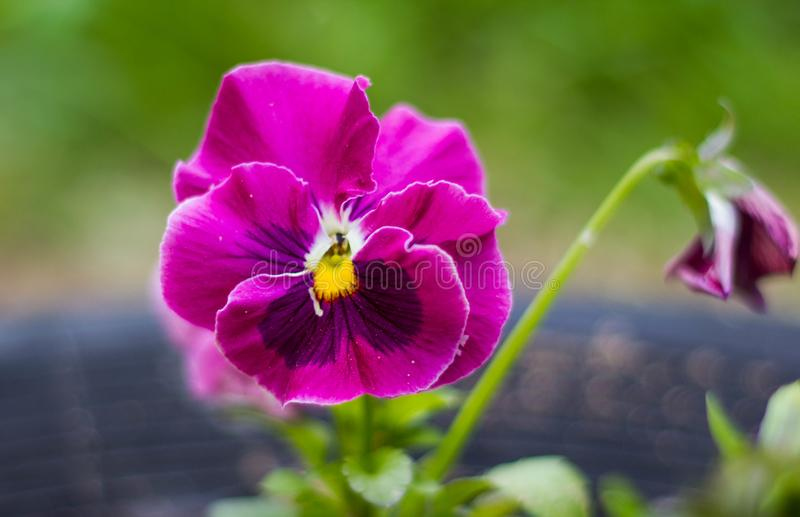 One beautiful pink flower pansies on a natural green background. Close up. Pink lilac viola stock photos