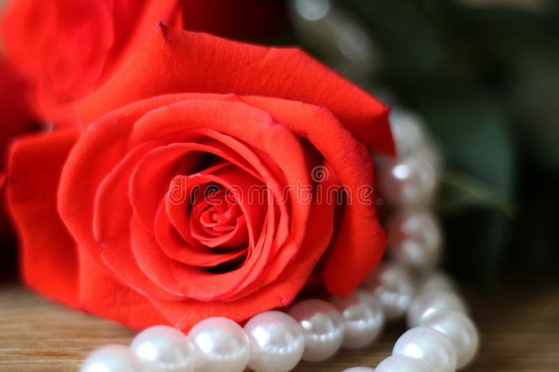 One beautiful red rose lying ona woodentable a white pearl necklace. Macro. Bright beautiful red rose and white pearl necklace lying ona wooden table brown royalty free stock image