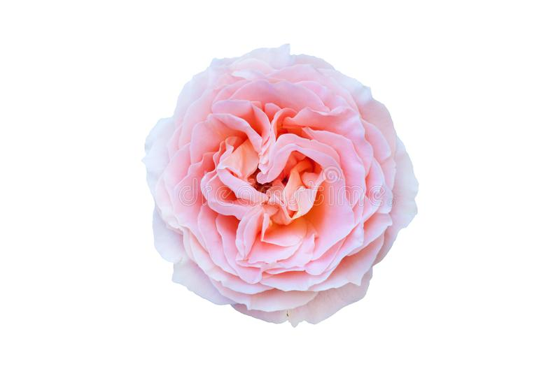 One beautiful whole blossom head of rose with leaves gradient peach colour color isolated on white. Background royalty free stock photos