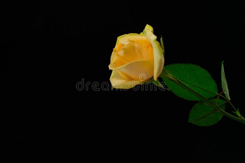One yellow rose on a black background. One beautiful yellow rose on a black background,Copy space,separation symbol royalty free stock image