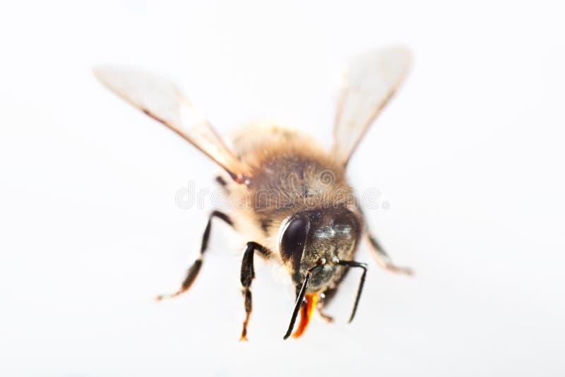 One Bee Stock Image