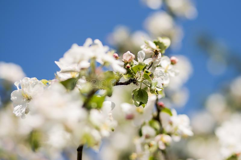 A bee collects honey from a flowering tree stock image