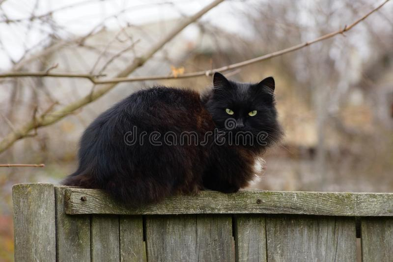 One big black fluffy cat sits on a gray wooden fence. In the street royalty free stock images