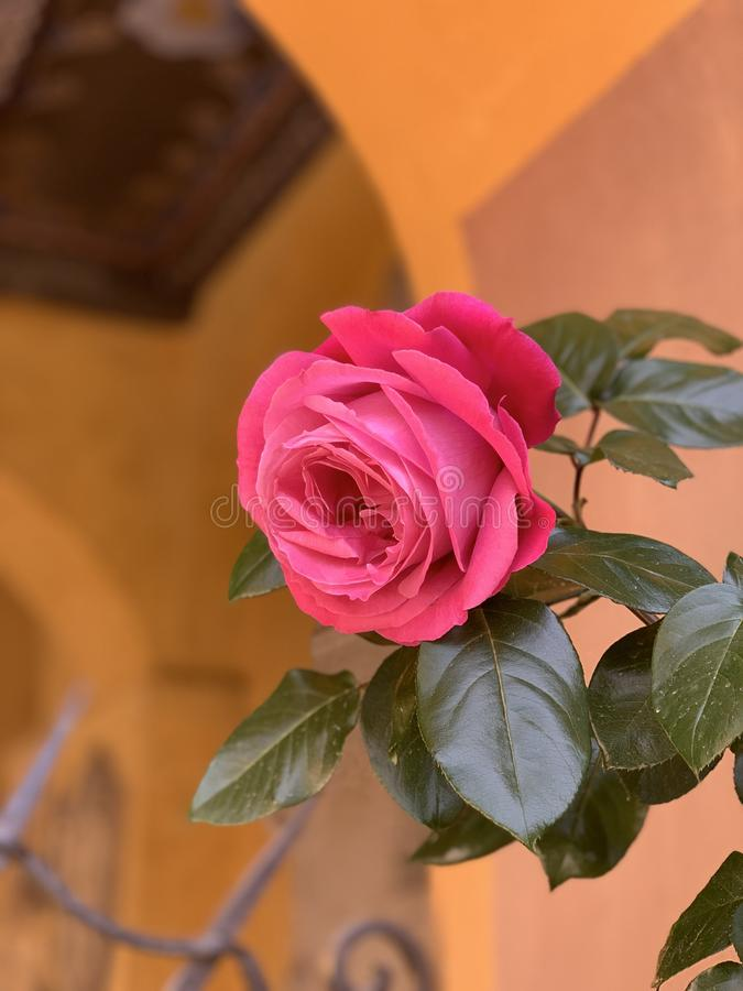 One big bright pink red rose with leaves on theold wall background. Photo stock photography