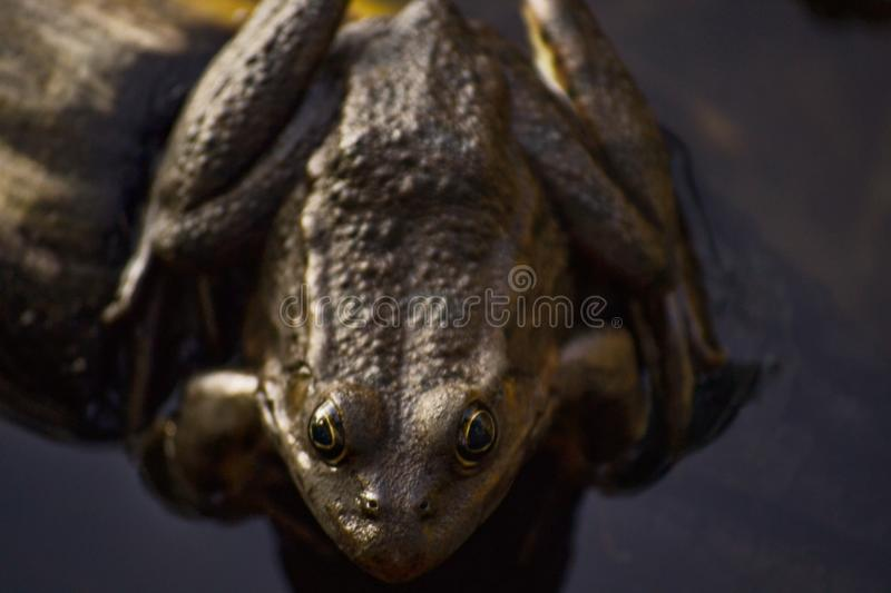 One big brown toad sits on a log in the water of a pond among grass and algae. Frog smiles. Summer day stock photo