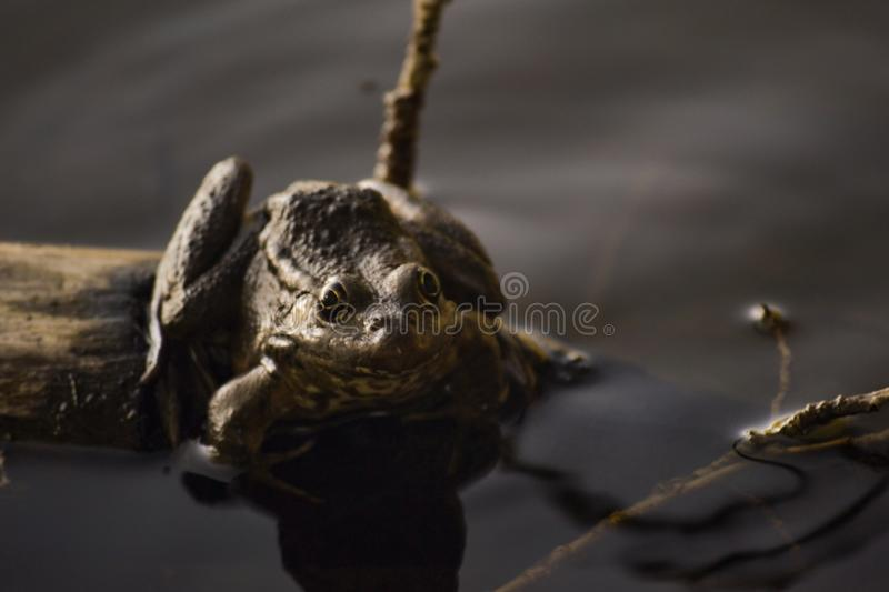 One big brown toad sits on a log in the water of a pond among grass and algae. Frog smiles. Summer day royalty free stock photo