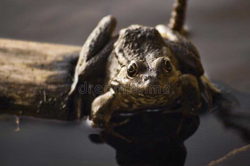 One big brown toad sits on a log in the water of a pond among grass and algae. Frog smiles. Summer day stock images