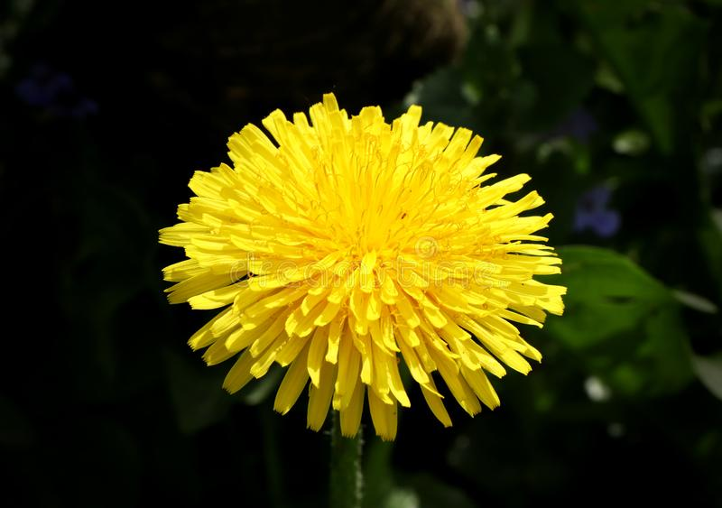A one big dandelion bloom on our garden on black background for set off blossom. Herbal and beautiful bloom. Summer is here stock images