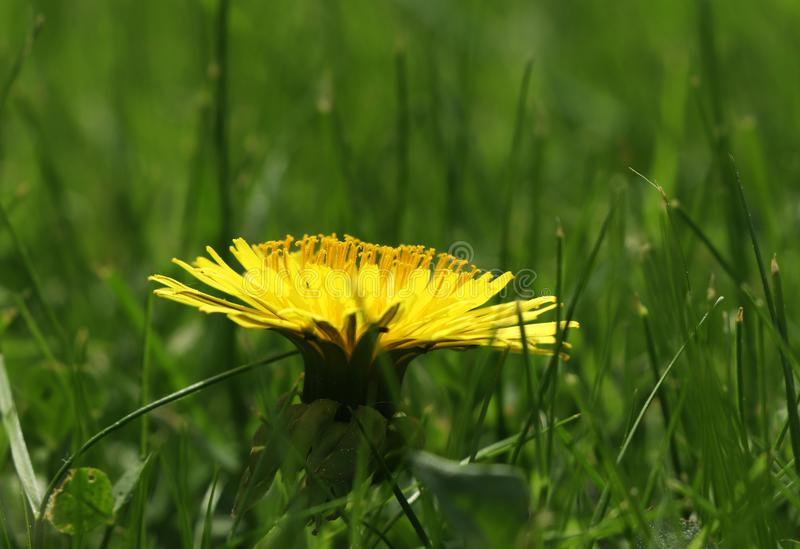 A one big dandelion blossom in the middle of grassland. View is from site for set off bloom of taraxacum. Very tasty salad from this flower royalty free stock photography