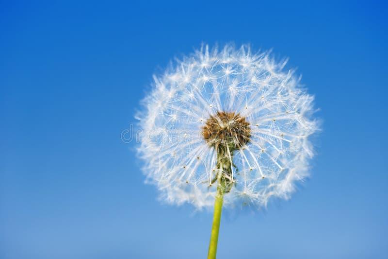 One big dandelion on sky background. One big dandelion on blue sky background stock image