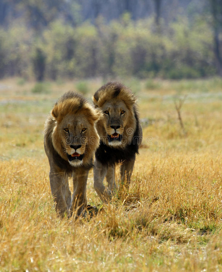 Black maned Kalahari Lions royalty free stock photography