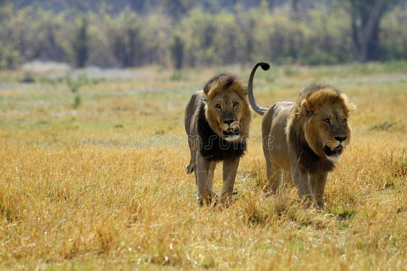 One of the Big Five. The big male lions are the only ones capable of bringing down elephants, this is the only time they hunt stock image