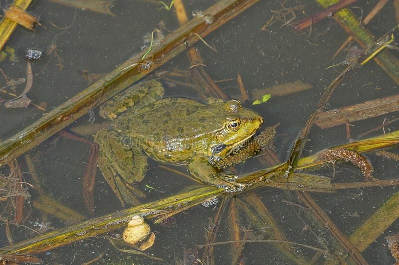 Green frog sits in the water of a pond among brown algae. One big green frog sits in the water of a pond among brown algae stock photography