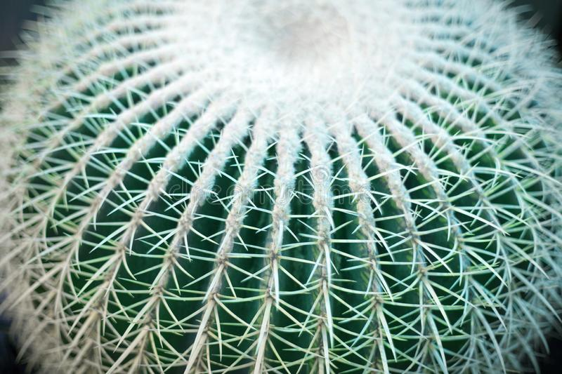 One big green round beautiful cactus closeup macro on blurred background top view, cactus texture with long sharp thorns stock images