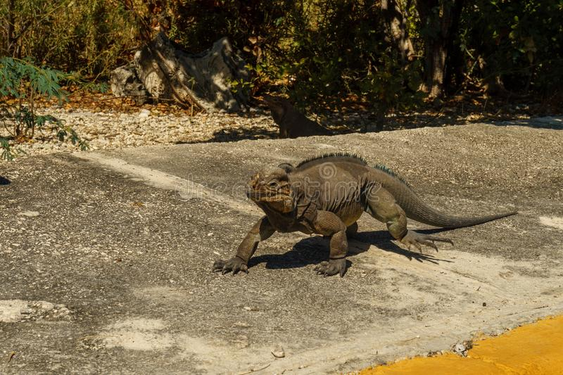 One big grey iguana runs on the road in the wild close-up. One big grey iguana runs on the road in the wild nature close-up royalty free stock photos