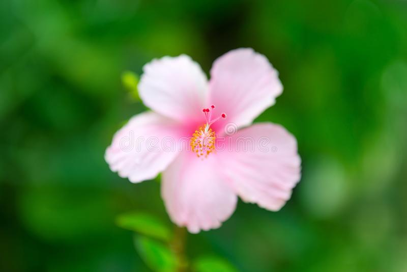 One big hibiscus pink flower with rain drops on petals. And green background. Selective focus on the pestil royalty free stock photos