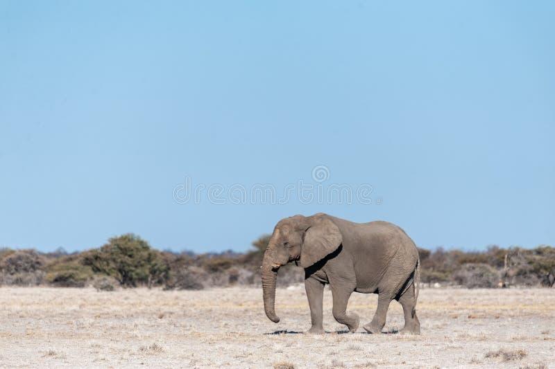 A Solitary Male Elephant Walking across the Plains of Etosha National Park. One big male African Elephant -Loxodonta Africana- walking down the plains of Etosha royalty free stock photography