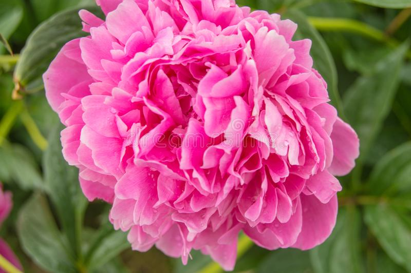 One big pink peony flower close-up on open nature background, blurred.  royalty free stock images