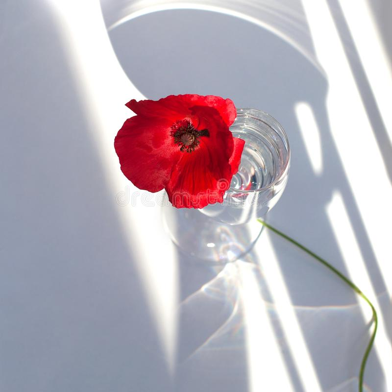 One big red poppy flower on white table with contrast sun light and shadows and wine glass with water closeup top view royalty free stock photo