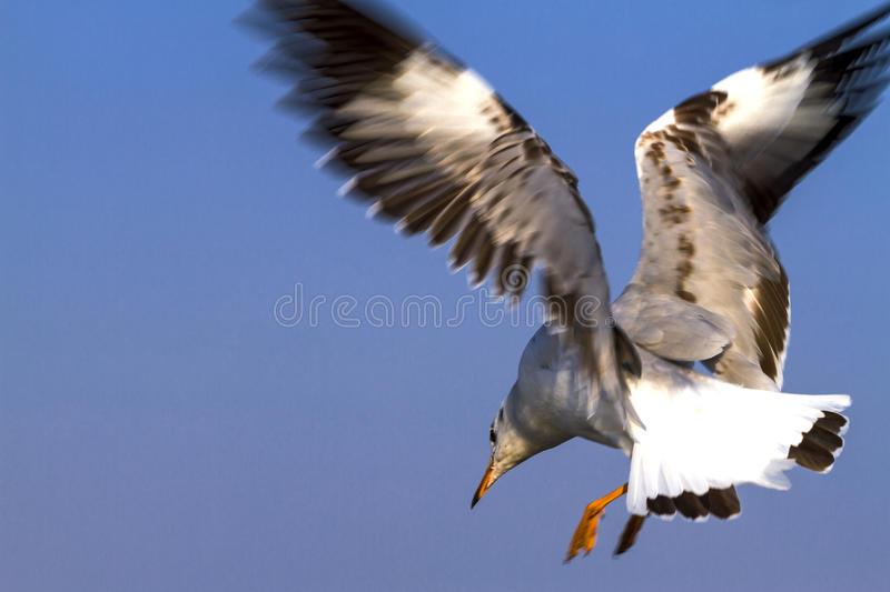 One big seagull fly show action. At Bang Pu Seaside beach of, Thailand stock photo