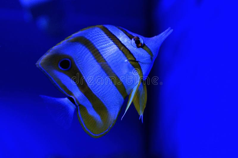 Big striped fish swimming in blue sea water royalty free stock photography
