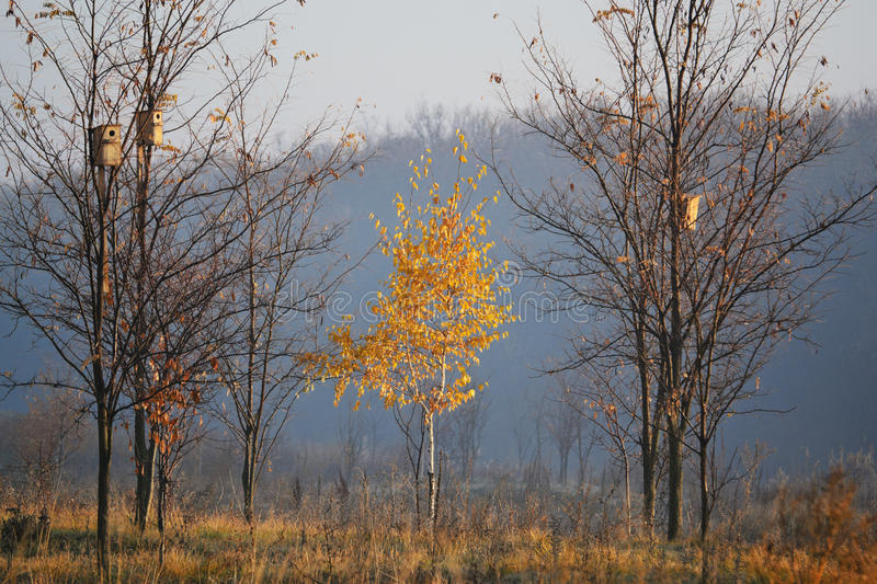 One birch. Lonely birch in the morning sun autumn morning stock photo