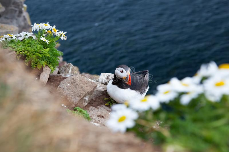 One bird puffin on the background of the sea on a cliff with daisies at sunset in Iceland. One bird puffin sitting on the background of the sea on a cliff with stock image