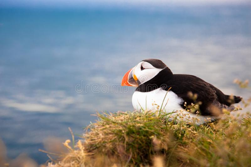 One bird puffin on the background of the sea on a cliff with daisies at sunset in Iceland. One bird puffin sitting on the background of the sea on a cliff with stock images