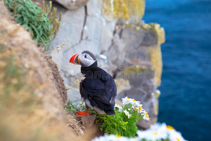 One bird puffin on the background of the sea on a cliff with daisies at sunset in Iceland. One bird puffin sitting on cliff on the background of the sea on a stock photos