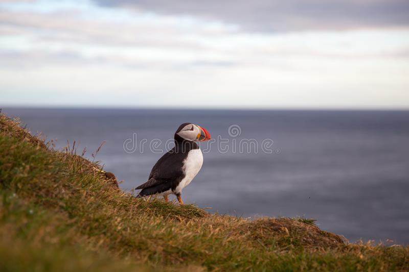 One bird puffin on the background of the sea on a cliff at sunset in Iceland. One bird puffin sitting on the background of the sea on a cliff at sunset in stock photo