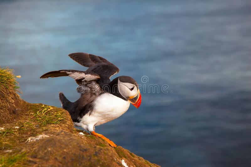 One bird puffin spreads its wings on the background of the sea on a cliff with daisies at sunset in Iceland. One bird puffin standing spreads its wings on the stock photos
