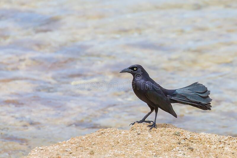 One carib grackle standing at coast royalty free stock photography