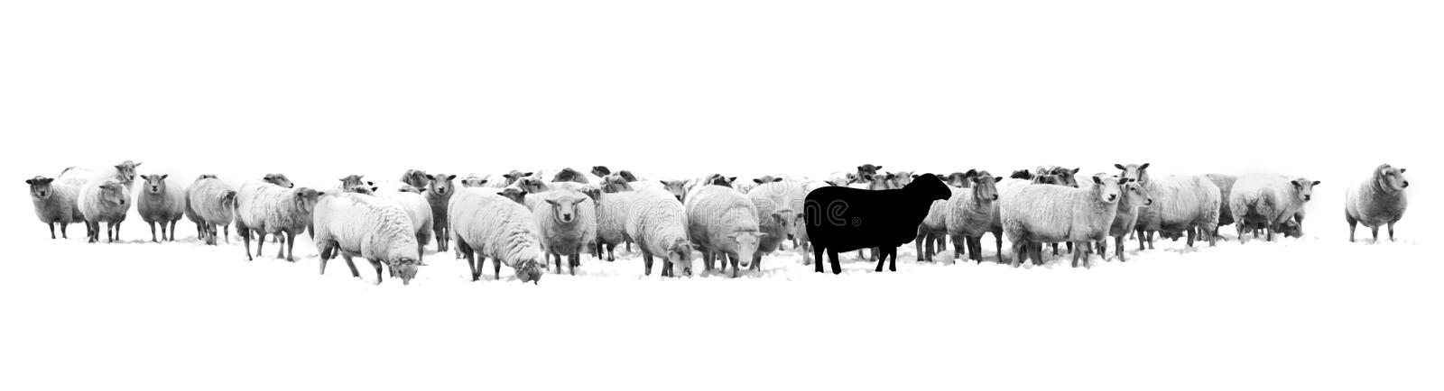 One black sheep standing in the middle of a flock of white sheep royalty free stock photos