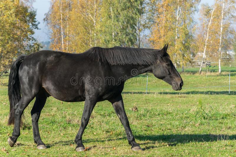 One black stallion walking on green grass. Side view stock photo
