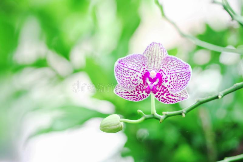 One bloom and one bud Orchid genus Vanda flowers purple on the tree. Close up one bloom and one bud Orchid genus Vanda flowers purple on the tree royalty free stock photography