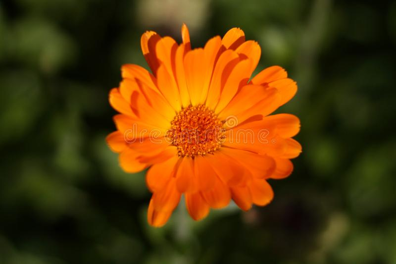 Orange flower marigold, top view royalty free stock photography